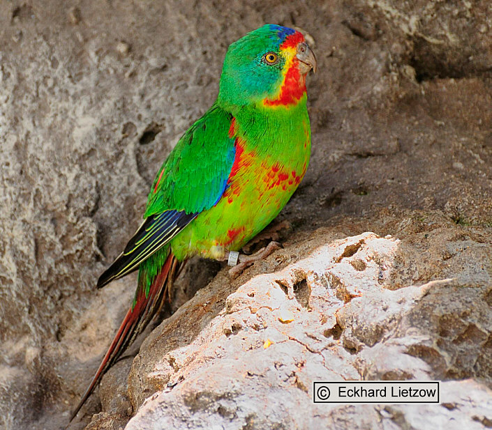 Lathamus discolor engl swift parrot